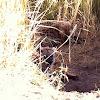 Hyena (pups)