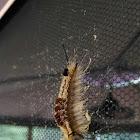 Yellow-based Tussock Moth