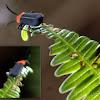 Pyrochroidae