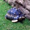 Radiates tortoise