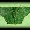 Pelagodes sp.