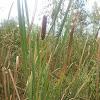Broad leaf Cattail
