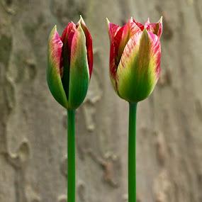 tulip TURKEY by Ahmet Güler - Nature Up Close Flowers - 2011-2013 ( tulip turkey, , flower, bouquet, Flowers, Flower Arrangements )