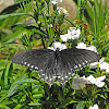 Pipevine Swallowtail (female)