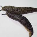 Tawny Garden Slug