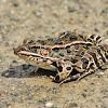 Pickerel Frog
