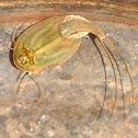 Tadpole Shrimp (longtail)