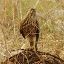 Besra (Juvenile Female)