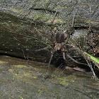Hahniid spiders