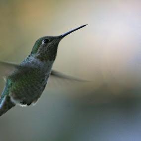Anna's Hummingbird by Andrew Johnson - Animals Birds ( bird, nature, hummingbird, outdoor, animal, fly, flight )