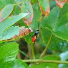Braconid wasp ♀