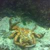 Centola (gl), Centollo (es), spinous spider crab (uk)