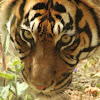 Tigre de Sumatra/Bengal