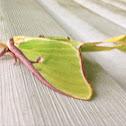 Luna Moth (female)