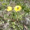 Dandelion - Maslacak
