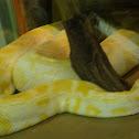 Bermese Python