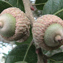 Sand Live Oak (typical twin acorns)