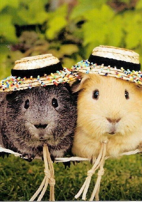 guinea pig wallpaper android apps on google play