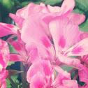 Geranei rosa