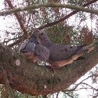 Ruddy Ground-Dove,Rolinha Roxa (Brazil)