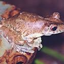 rusty tree frog