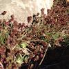 Red Carpet Sedum or Stonecrop