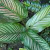 pinstripe plant