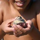 Horned Toad