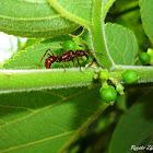 Ants tending Treehopper Nymphs