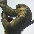 Sloth with Moss