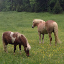 Miniature horse and Horse