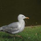 Gaviota Patiamarilla (ES) Gaivota Patiamarela (Gal) Yellow-legged Gull (EN)
