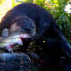 Otter with Cat fish