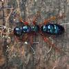 Blue Ant (Female Wasp)