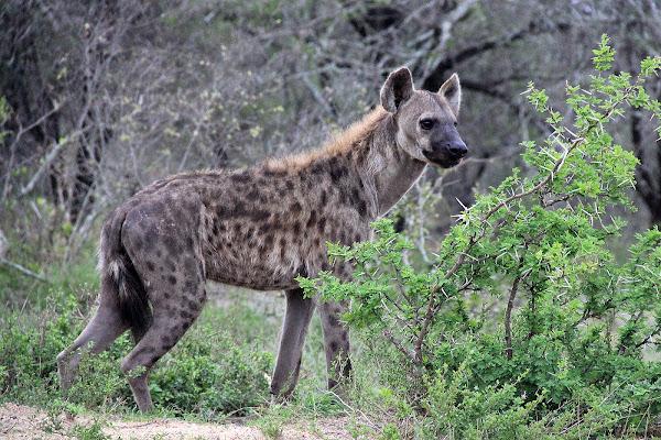 Spotted Hyena | Project Noah