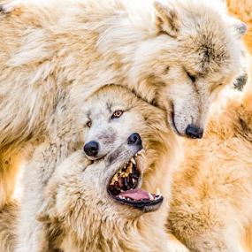 fight for your right by Horst Winkler - Animals Other ( wölfe, vienna, rangordnung, schönbrunn, zoo, fight, wolf, wolve, fighting, wolves, tiergarten, right,  )