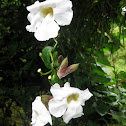 Bengal trumpet / white sky vine