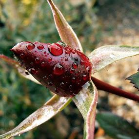 red dawn by Ruy Lopes - Flowers Flower Buds ( rosa, botão, vermelho,  )