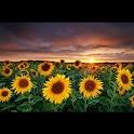 Galaxy S4 Sunflower LWP icon