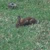 cotton tailed rabbit