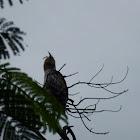 Mountain Hawk Eagle (juvenile) ?