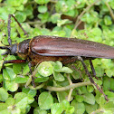 Pine Sawyer Beetle