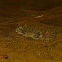 Arabian Horned Viper