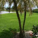 Robolini (palm tree)