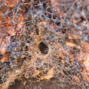 funnel web, web