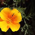 Dwarf California Poppy