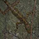 Kendall's Rock Gecko