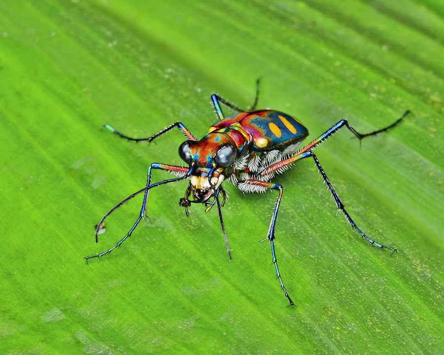 Tiger Beetle by Meorjay Creation - Animals Insects & Spiders
