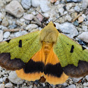 Green drab moth