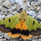 Green drab moth